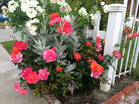 My-big-fat-cuban-family-garden-disneyland-roses