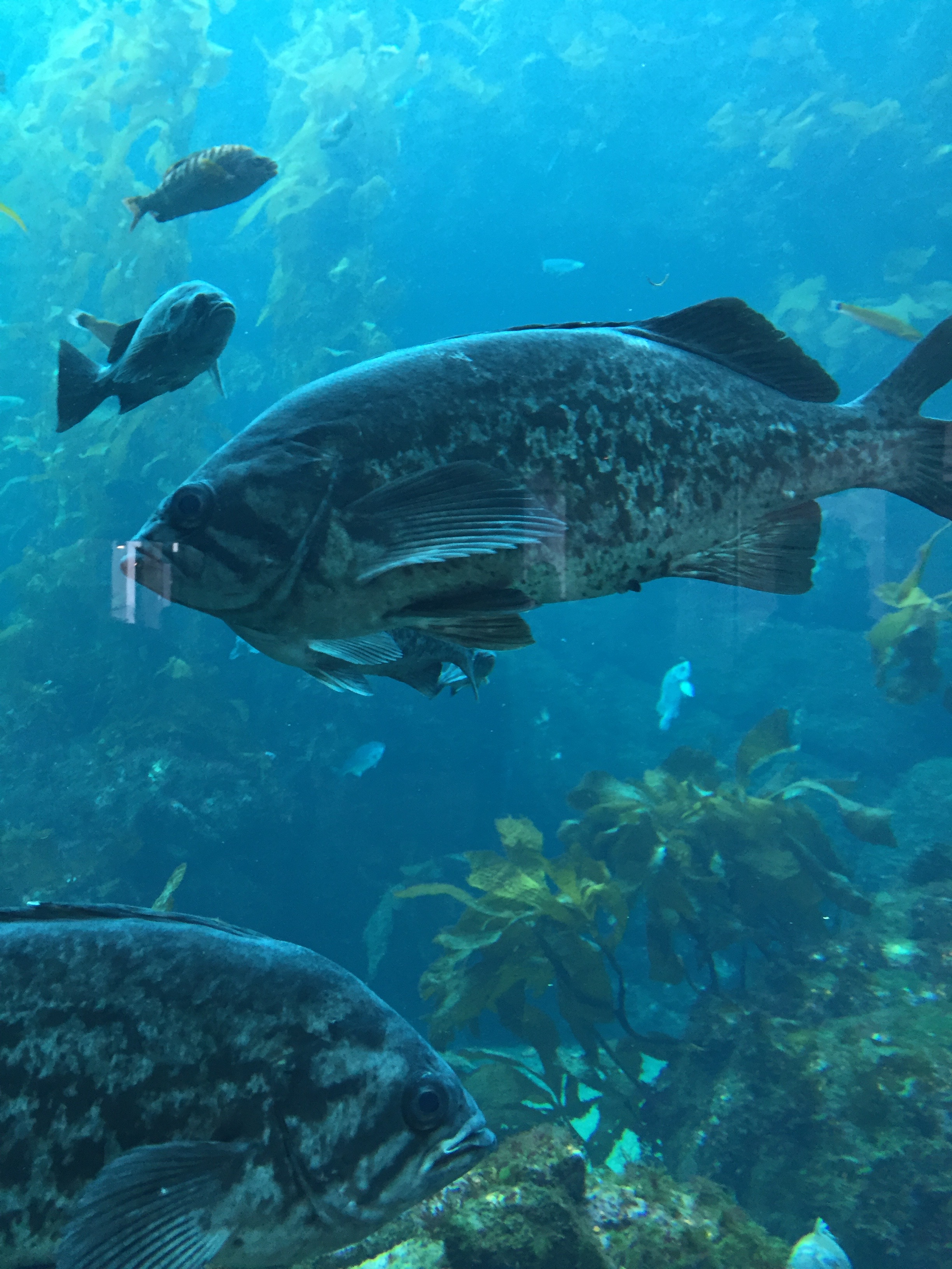 California sea bass. monterey aquarium. photo: M.Darby