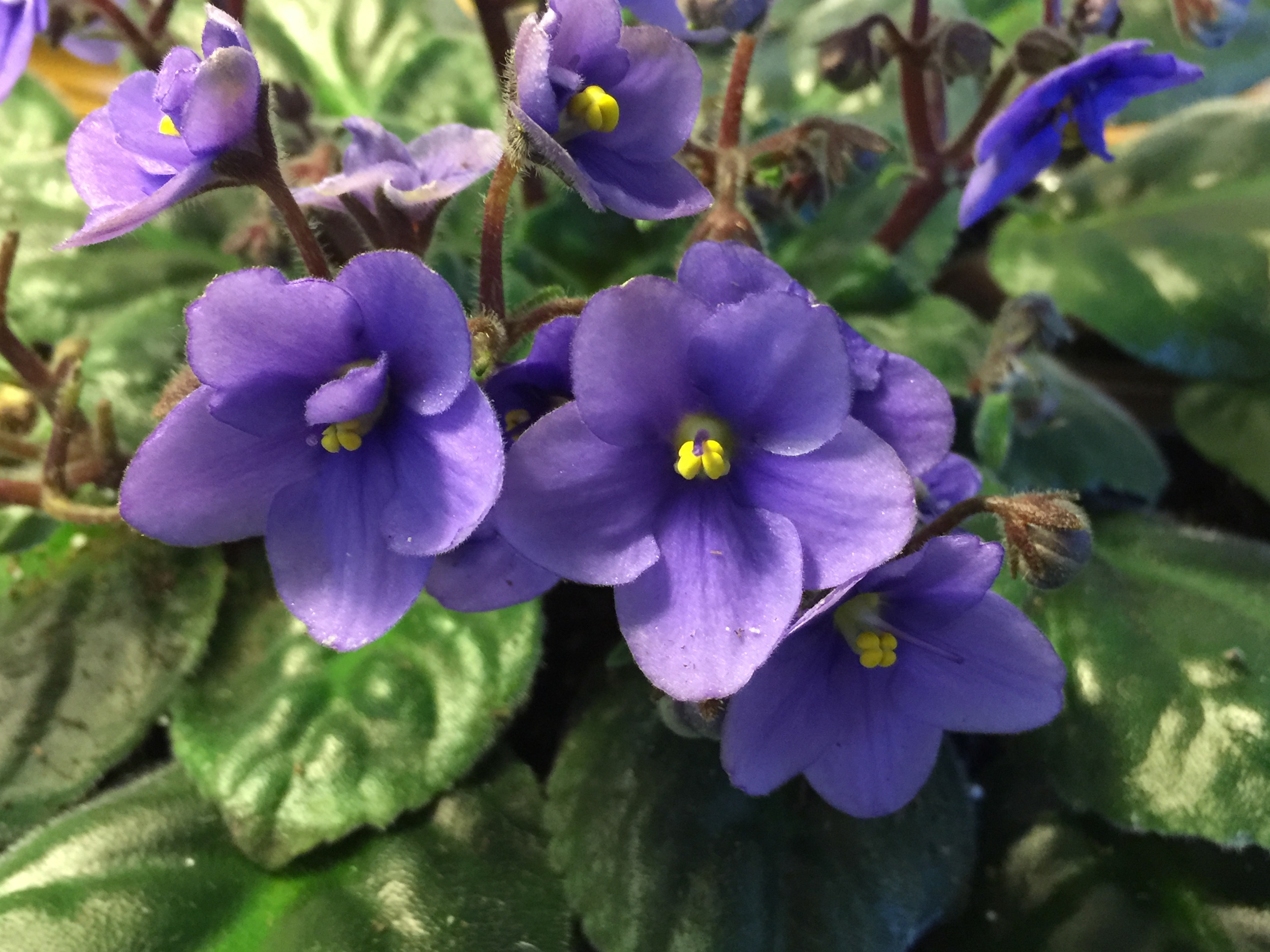 African Violet Care  Bobs Market and Greenhouses