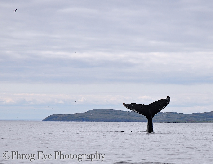 Newfoundland Whale, Whale Facts
