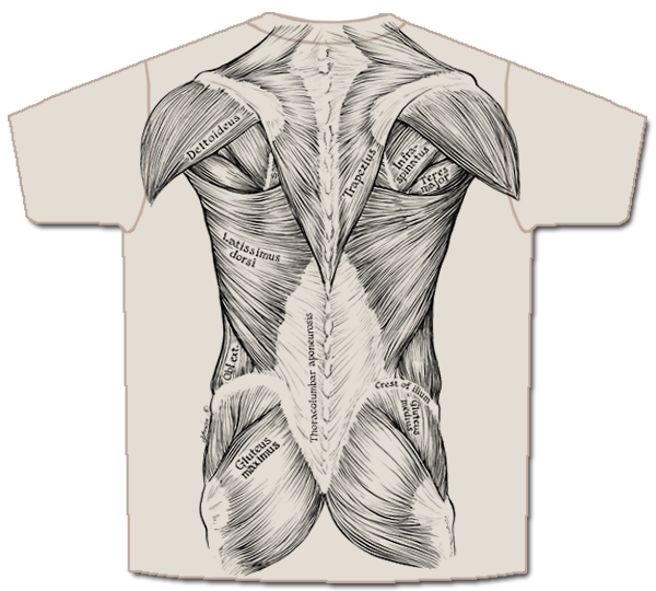 skeletal muscle labeled diagram print leviton cat5e jack wiring skeletees anatomical t shirts designed and illustrated by the muscles are printed in black ink on front back of a tan shirt all accurately this can be used to study for