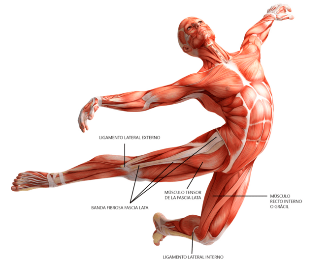 What is Fascia? And Why Is It So Important? — Faith Mountain Wellness