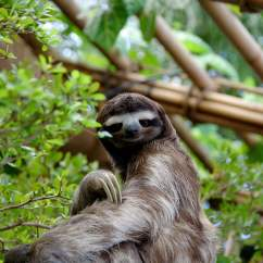 Neal Sofaworks Teddy Rooms To Go Furniture Sofa Bed Why Everyone Should Embrace Their Inner Sloth Richard Lebert Registered Massage Therapy