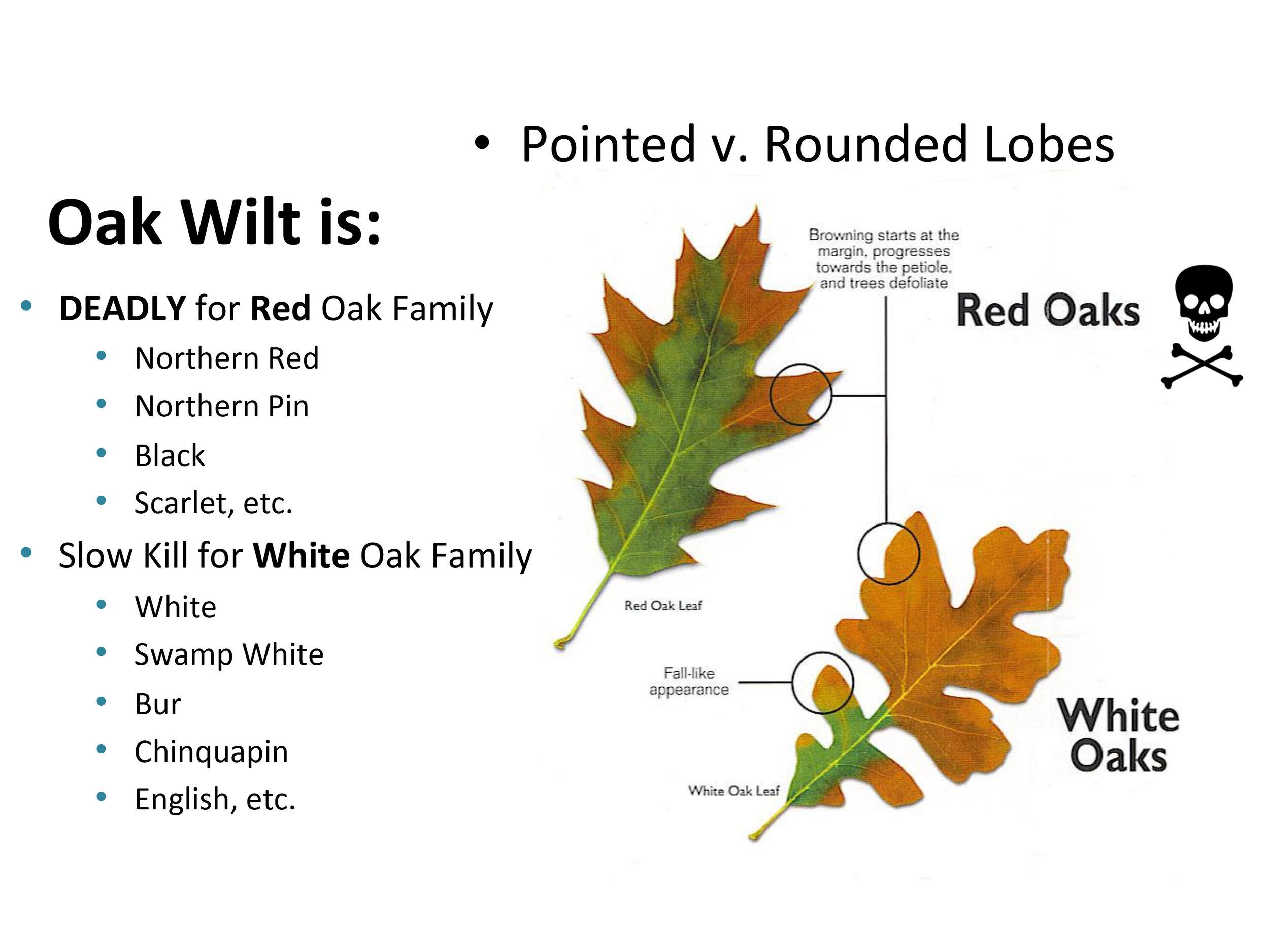 Red Vs White Oak Leaves