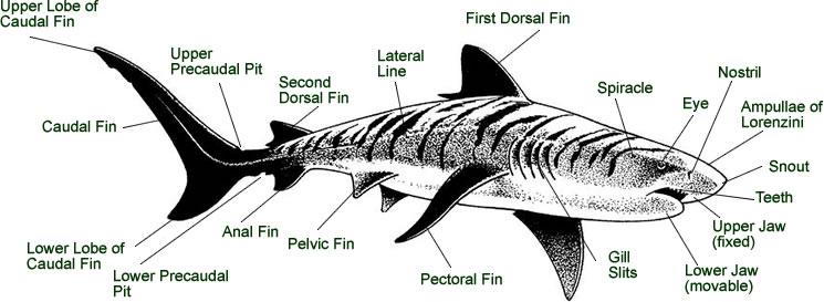 tiger shark life cycle diagram gretsch electromatic pro jet wiring heather lang booksshark anatomy