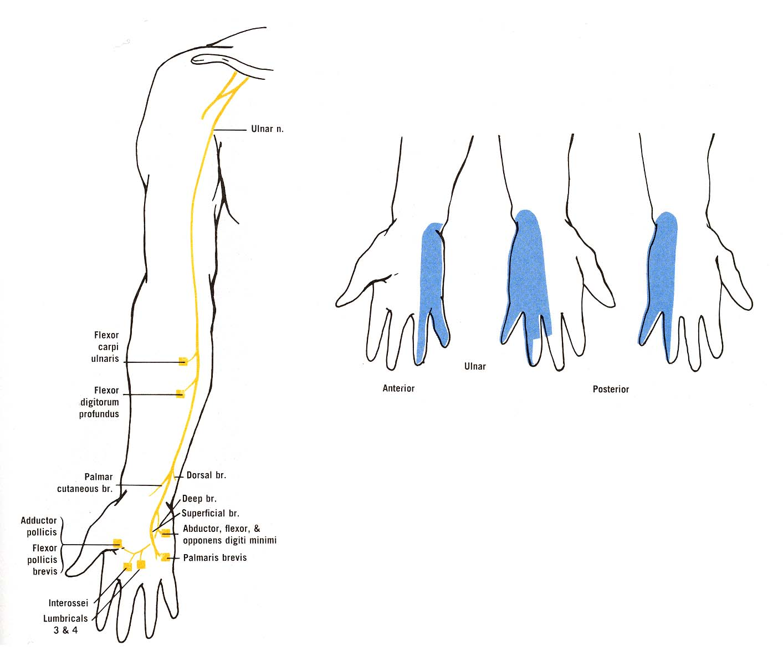 ulnar nerve diagram nuheat solo thermostat wiring entrapment it gives me a tingling sensation phila massages photo 1
