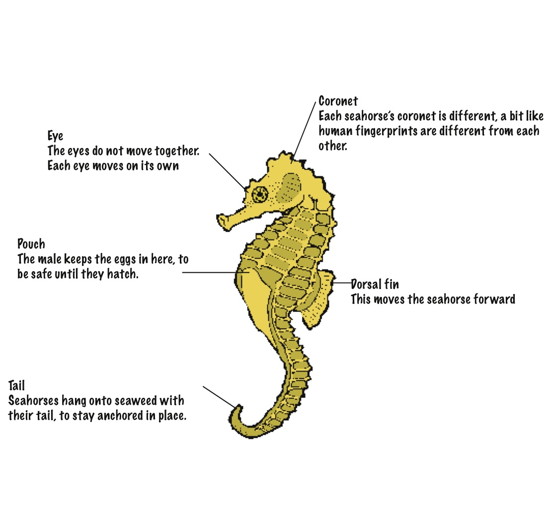 hight resolution of labelled diagram of a seahorse body kidcyber