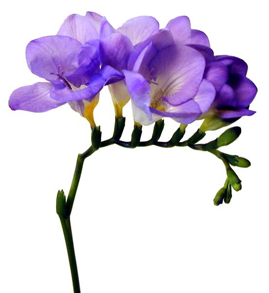 Fragrant Freesia Bloom Expert