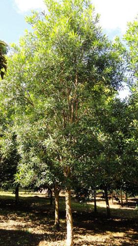 Water Gum  Tree Sales