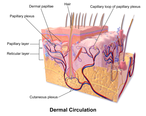 small resolution of diagram of skin layers 3