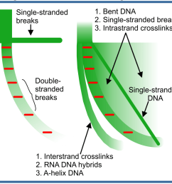 this allows for the quantitation of the various sub fractions of nucleic acids dsdna ssdna dna rna hybrids inter and intra strand crosslinks dna  [ 1000 x 938 Pixel ]