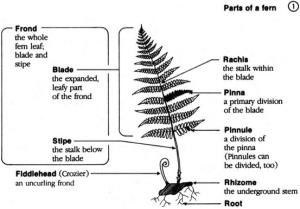 Native Plant Highlight  Ferns — Earth Stewardship East