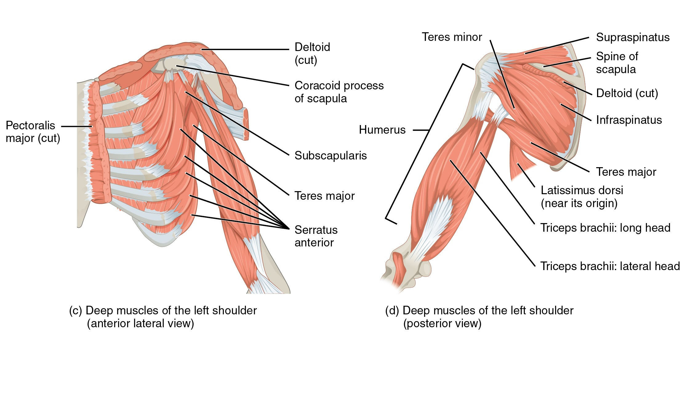 hight resolution of shoulder muscles
