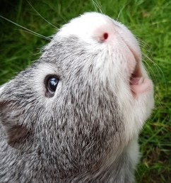 do guinea pigs smell  [ 1000 x 825 Pixel ]