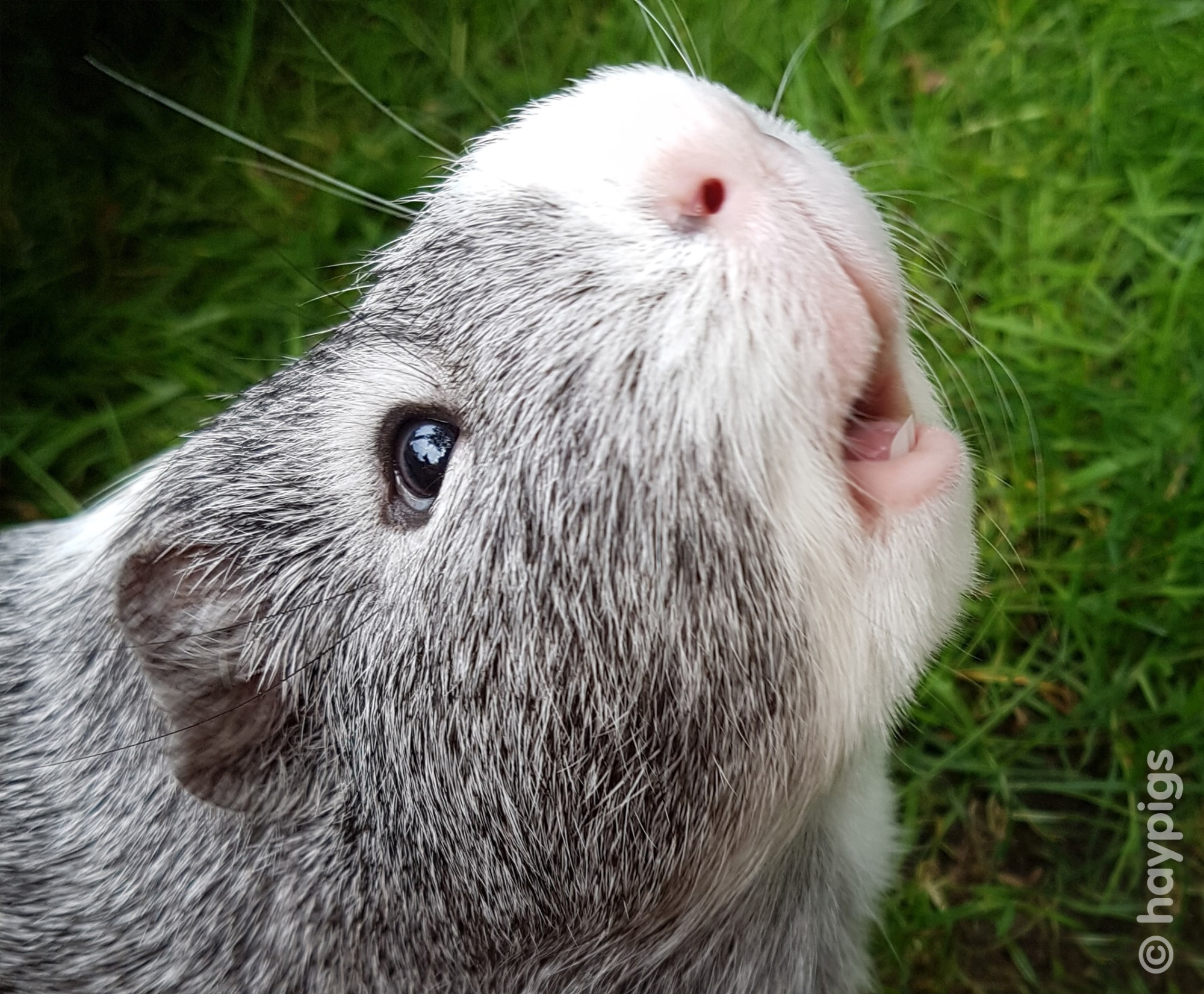 hight resolution of do guinea pigs smell