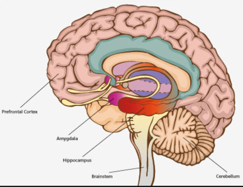 internal brain diagram 2001 gmc sierra radio wiring brown rice bright center for healing awareness and picture of the