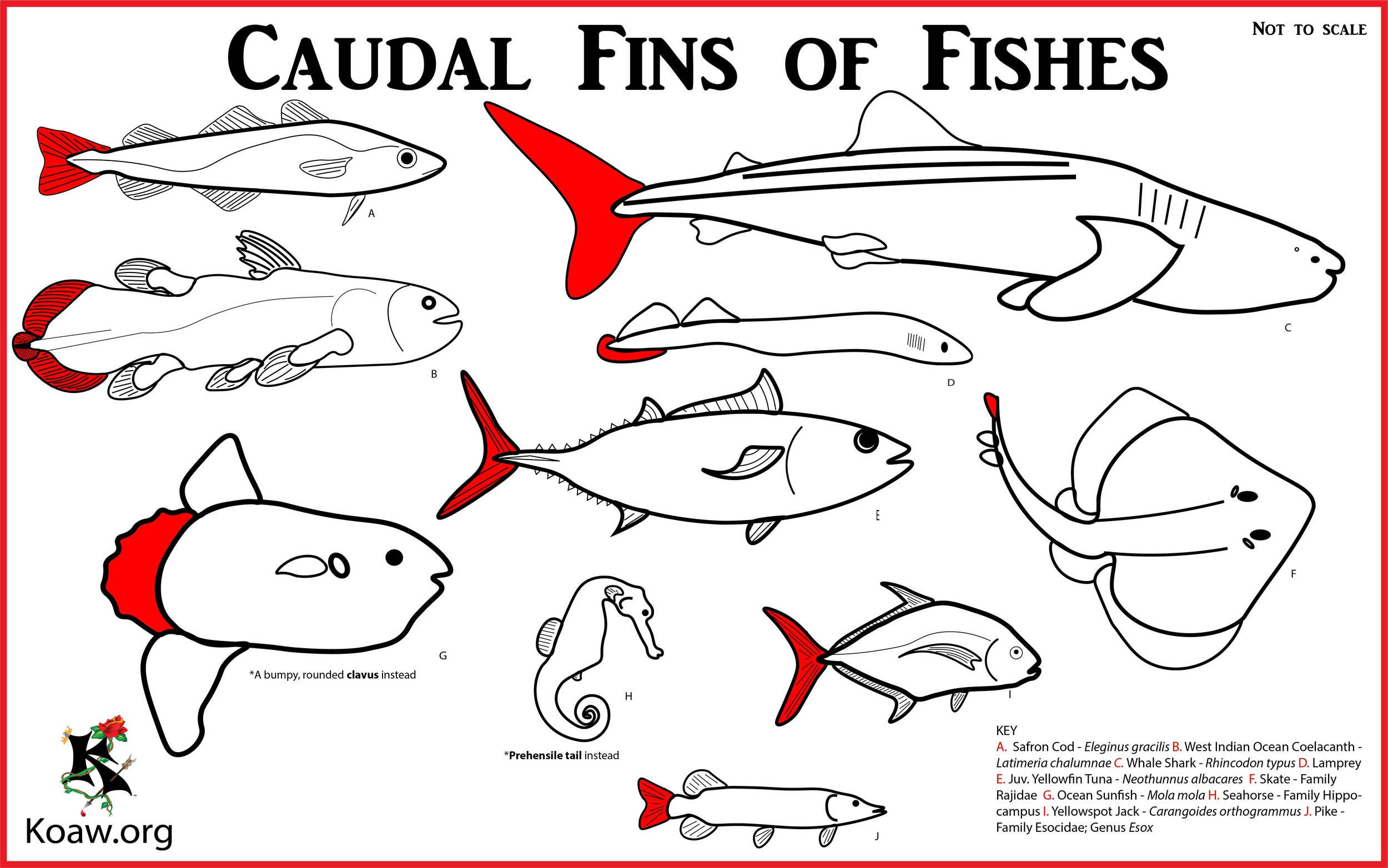 caudal fins of fishes tailfins illustration by koaw [ 2500 x 1564 Pixel ]