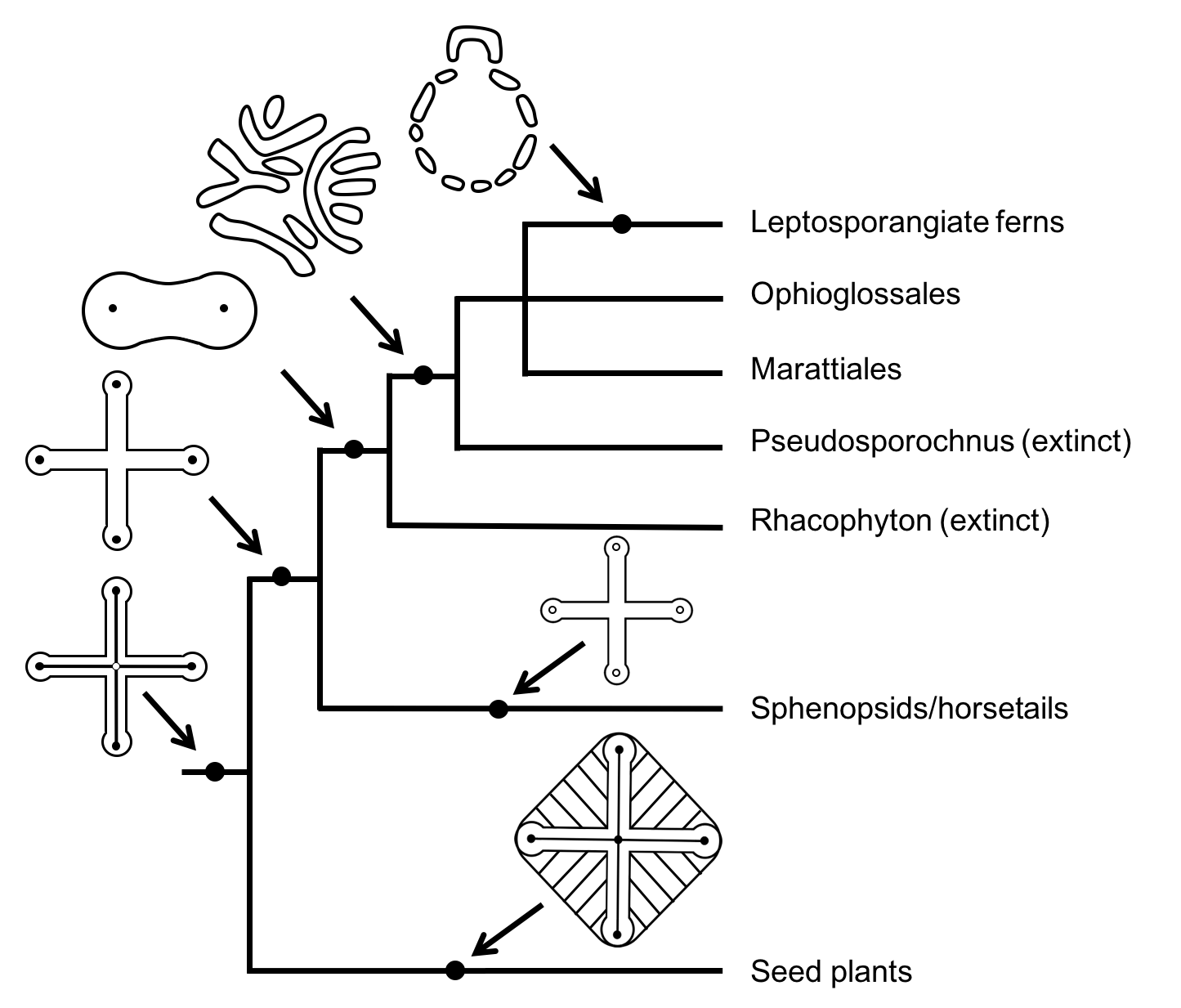 hight resolution of stele structure of seed plants and ferns with extinct relatives adapted
