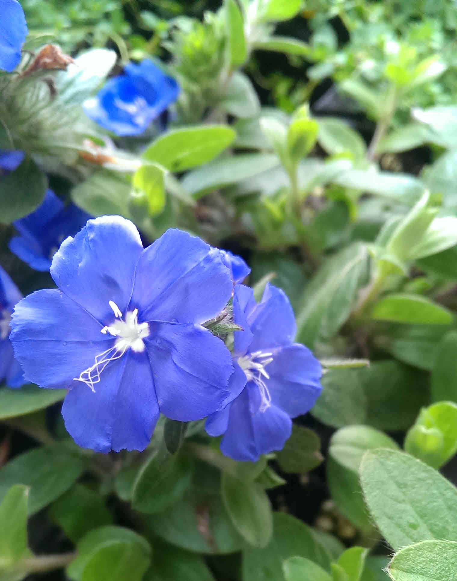 top 5 blue flowers