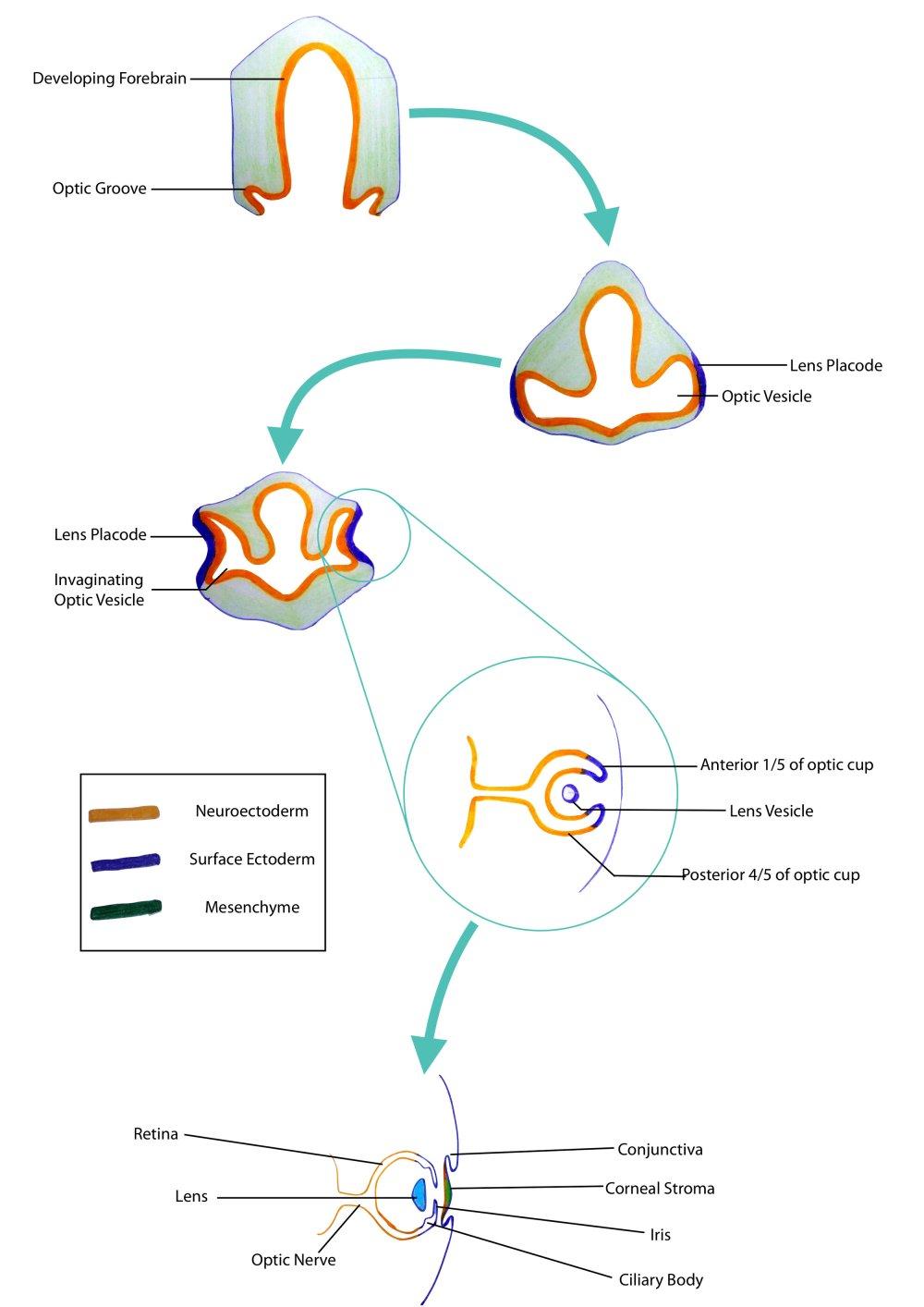 medium resolution of eye embryology jpg
