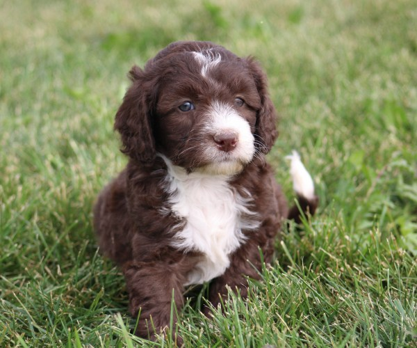 Crockett Doodles Family Raised Doodle Puppies - Year of
