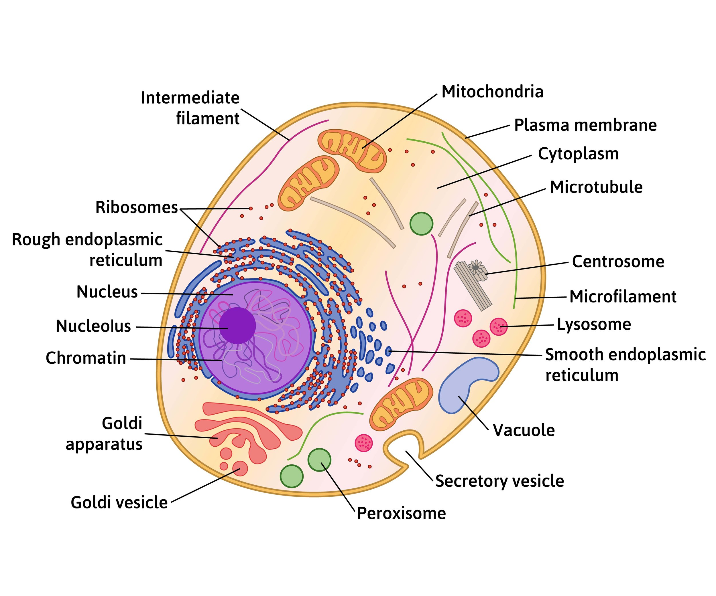 hight resolution of cross sectional diagram of a human cell