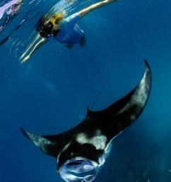 how to swim with manta rays manta ray swim diagram [ 998 x 1500 Pixel ]