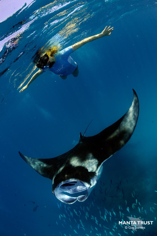 hight resolution of how to swim with manta rays manta ray swim diagram