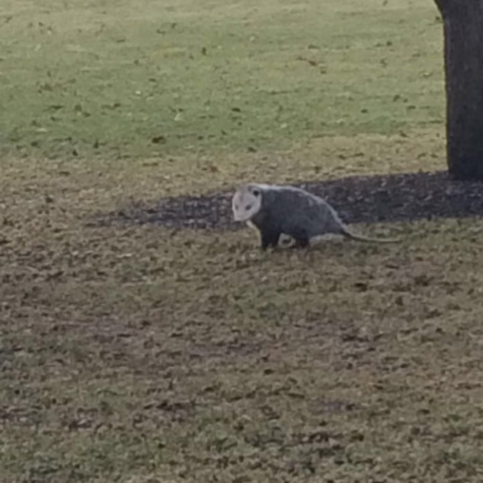 The one where I randonomly saw a possum out during the middle of the day.