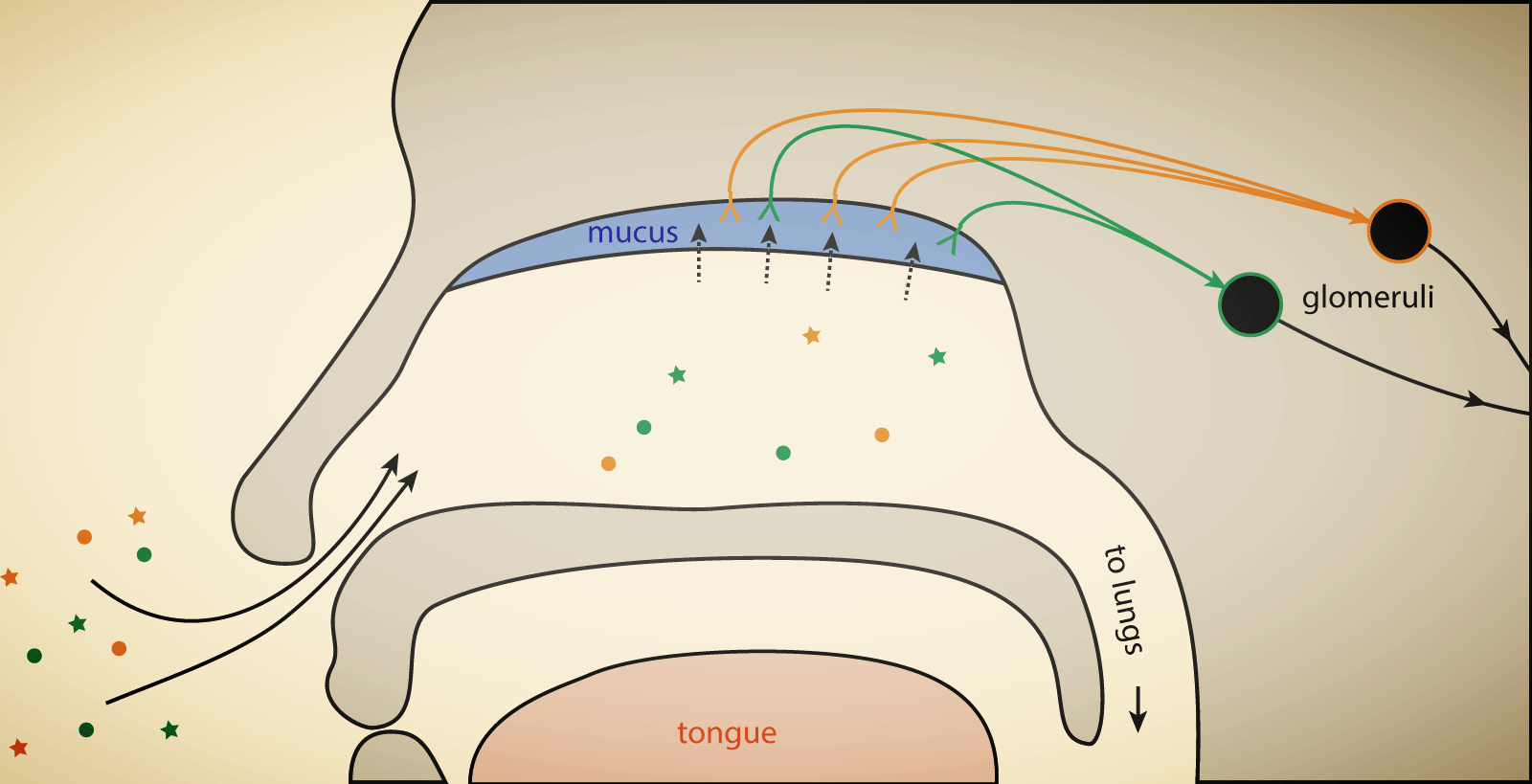 small resolution of olfaction overview notext png