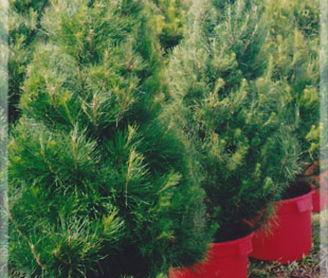Merlinos Monterey Live Potted Christmas Tree Jpg
