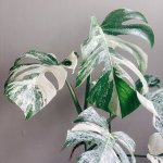How To Find A Variegated Monstera House Plant Plant Club