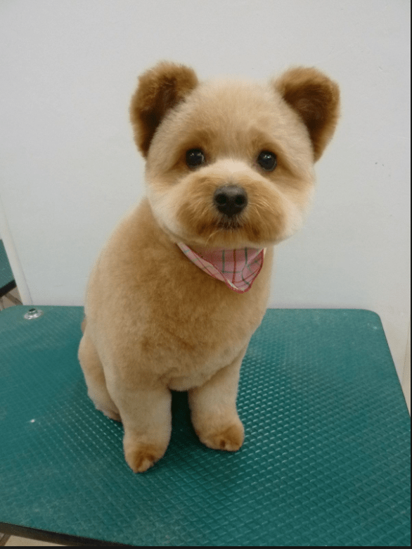 Yorkie Puppy Cut Vs Teddy Bear Cut : yorkie, puppy, teddy, Seven, Common, Puppy