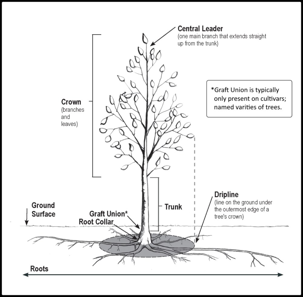 medium resolution of you may have to remove some soil from the tree root ball in order to determine where the collar is