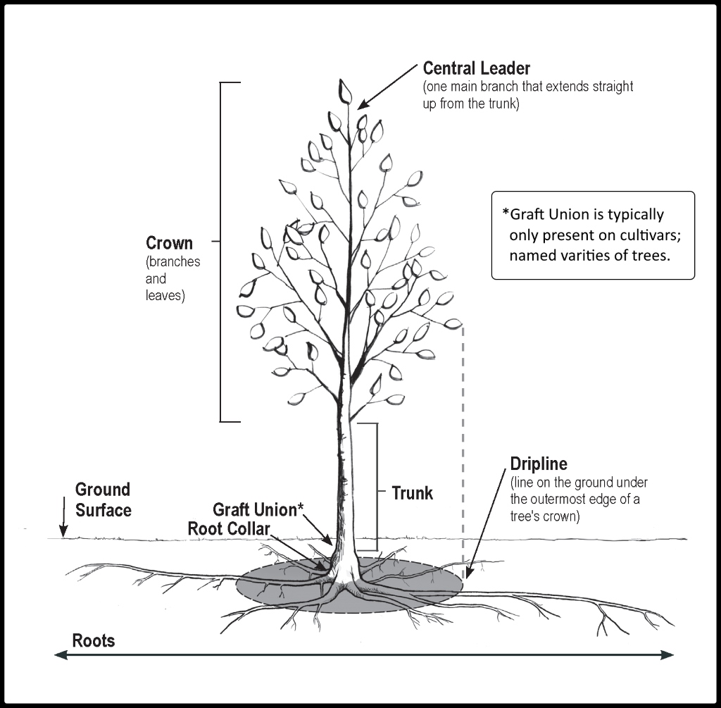 hight resolution of you may have to remove some soil from the tree root ball in order to determine where the collar is