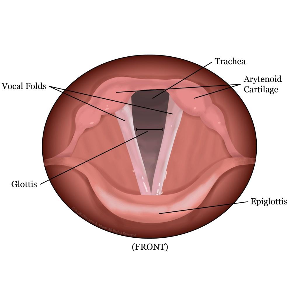 medium resolution of vocal folds open