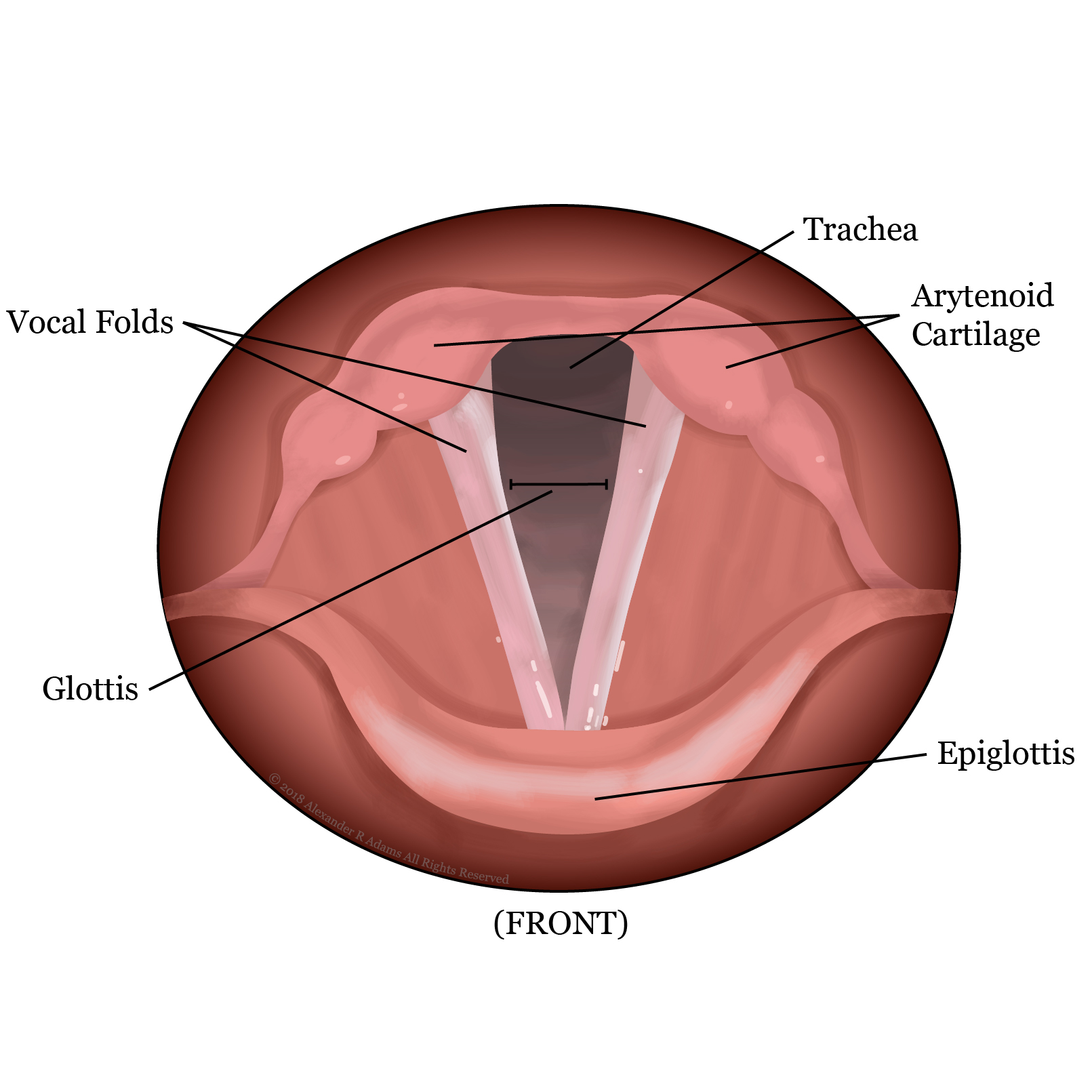 hight resolution of vocal folds open