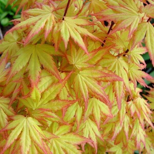 Acer Japanese Maple Paddock Plants Buy Online Uk