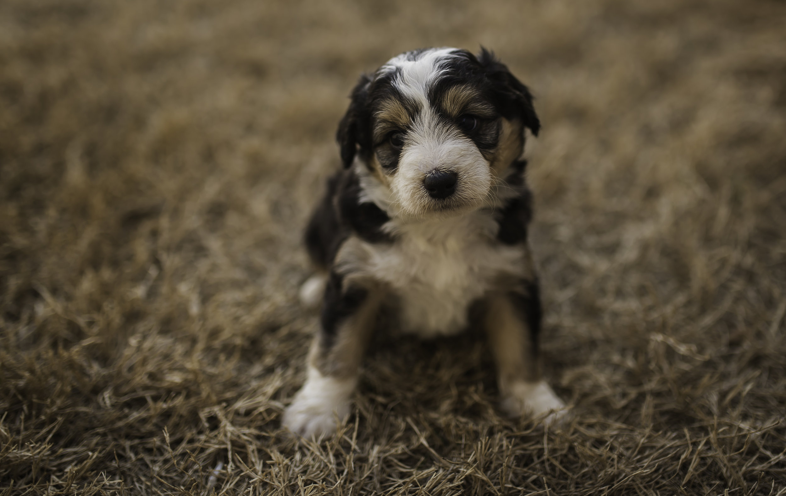 Lincoln Mini Aussiedoodle Dogs - Year of Clean Water
