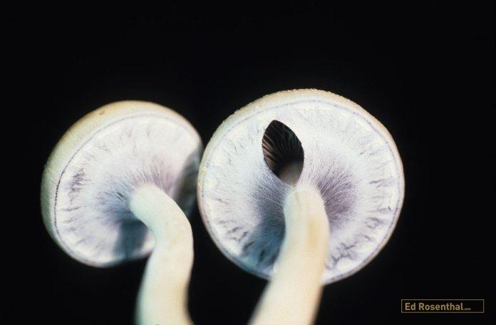 Psilocybin mushrooms.