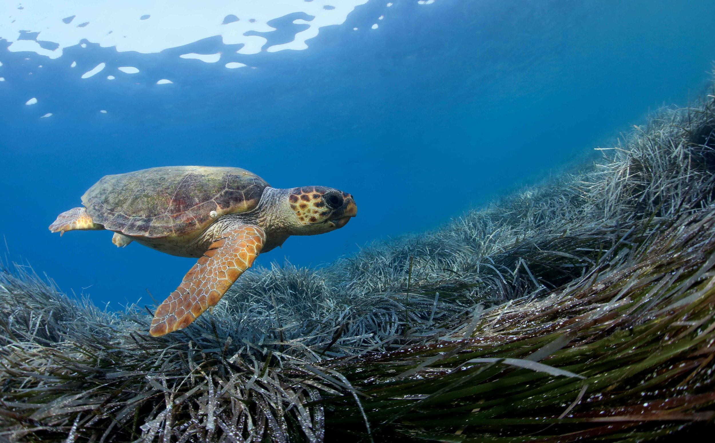 Sea Turtles Of The Mediterranean Sea The State Of The World S Sea Turtles Swot