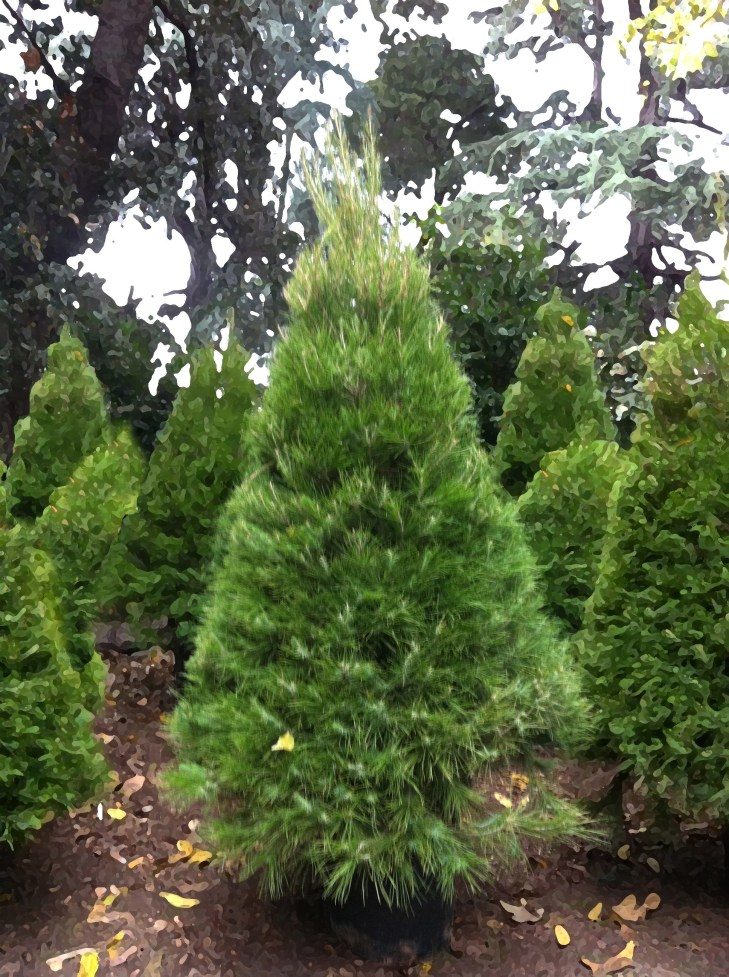 The beauty is dense and the most shapely of our trees. New baby needles  have a bluish tint. The Aleppo Pine is the hardiest…