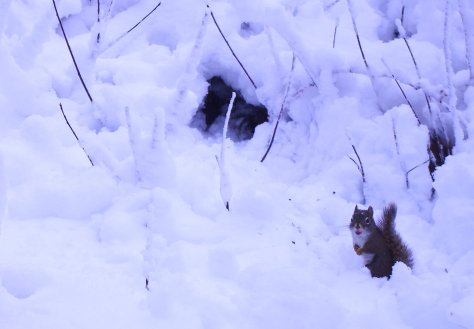 Red squirrel looking directly at camera, paws closed in front.  Sitting in deep snow with a few vertical twigs visible.
