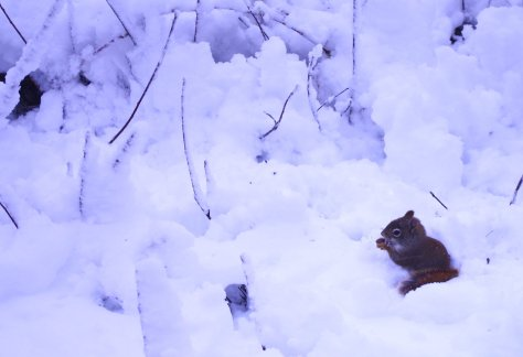 Red squirrel sitting in deep snow with tail around feet, holding something to its mouth with both pawas, eating.