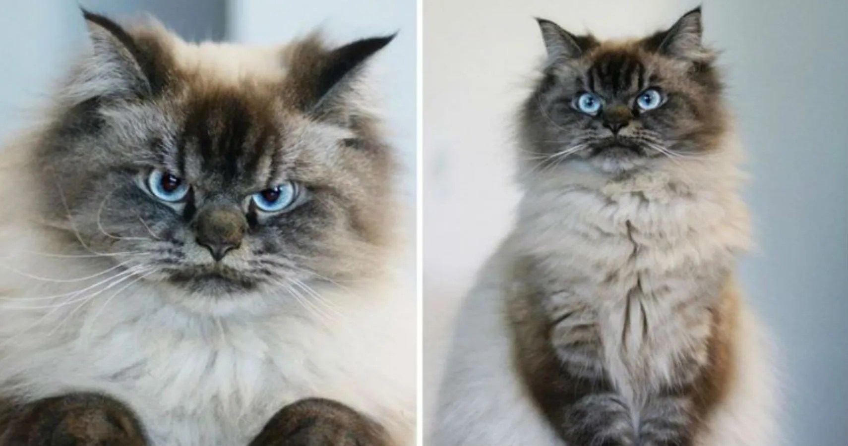 This Angry Looking Cat Is Your New Spirit Animal  TheThings