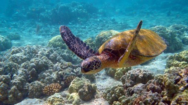 Una tortuga verde, «Chelonia mydas»