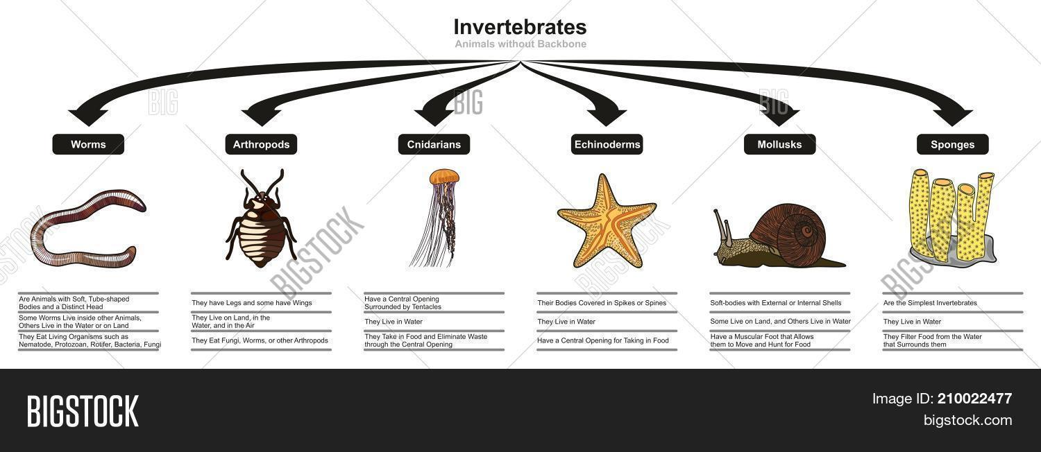 hight resolution of invertebrates animals classification and characteristics infographic diagram showing all types including worm arthropod cnidarian echinoderm mollusk