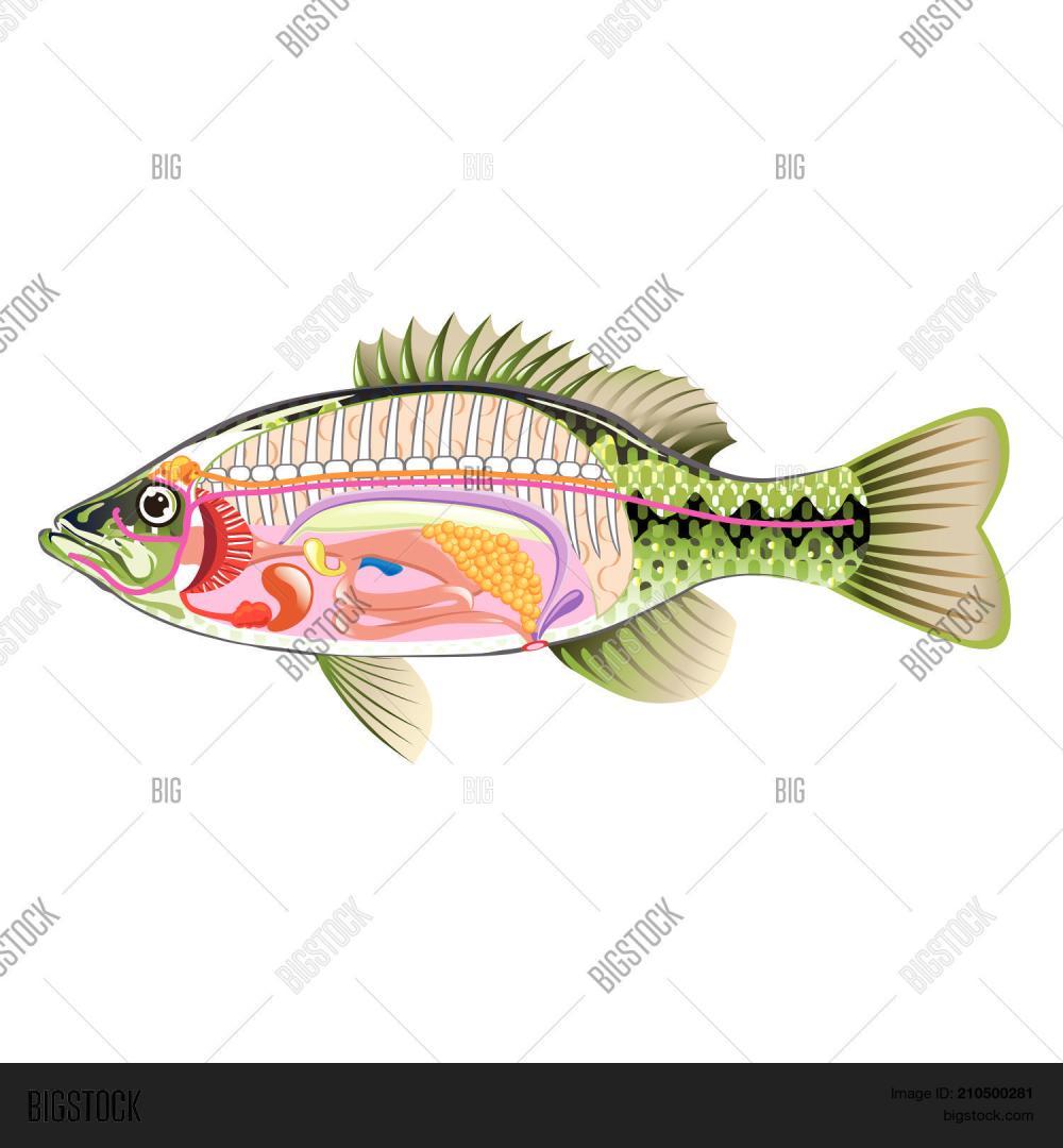 medium resolution of anatomy bass vector illustration not marked diagram
