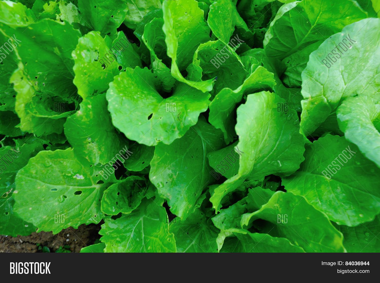 Green Leaf Mustard Image & Photo (Free Trial)   Bigstock