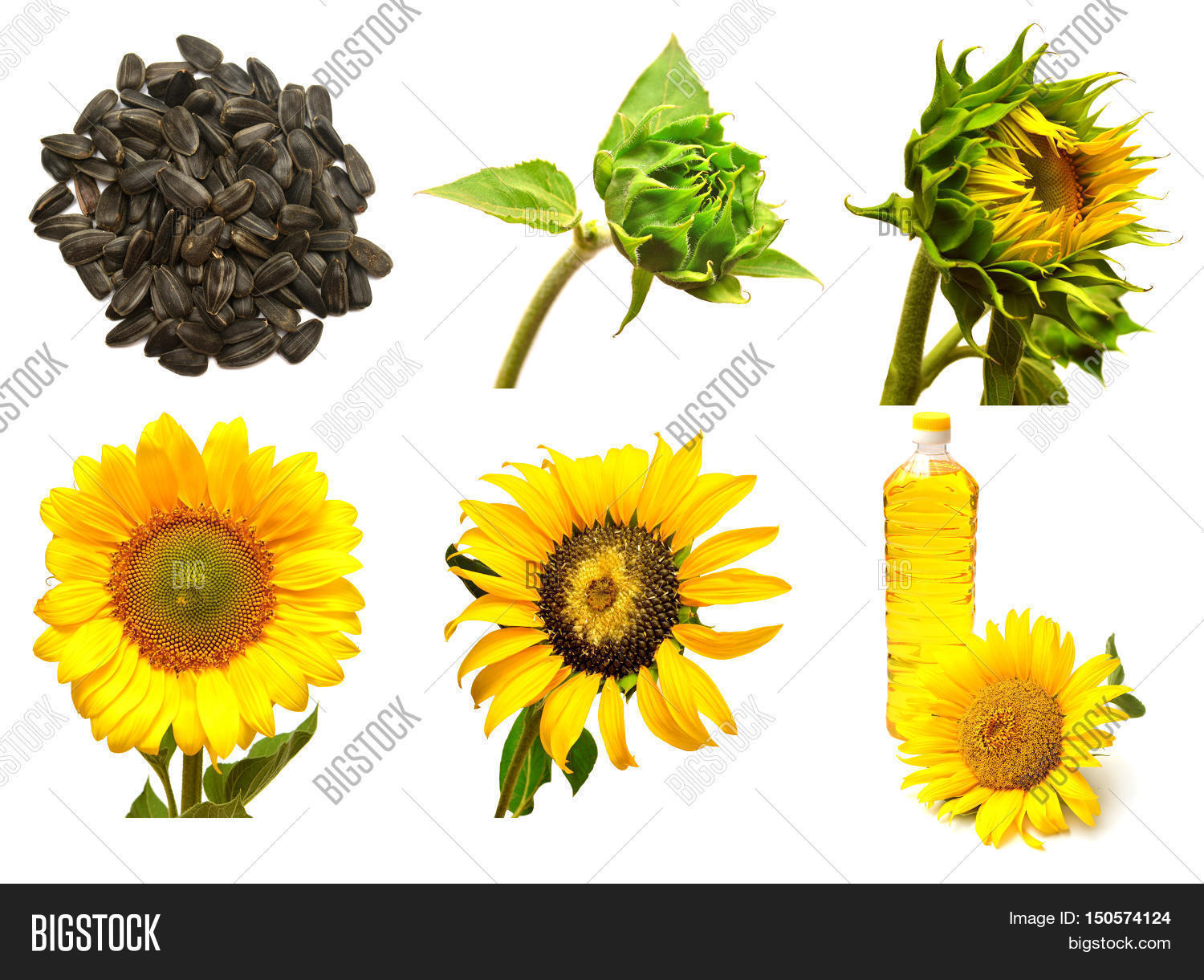 Collection Sunflower Image Amp Photo Free Trial